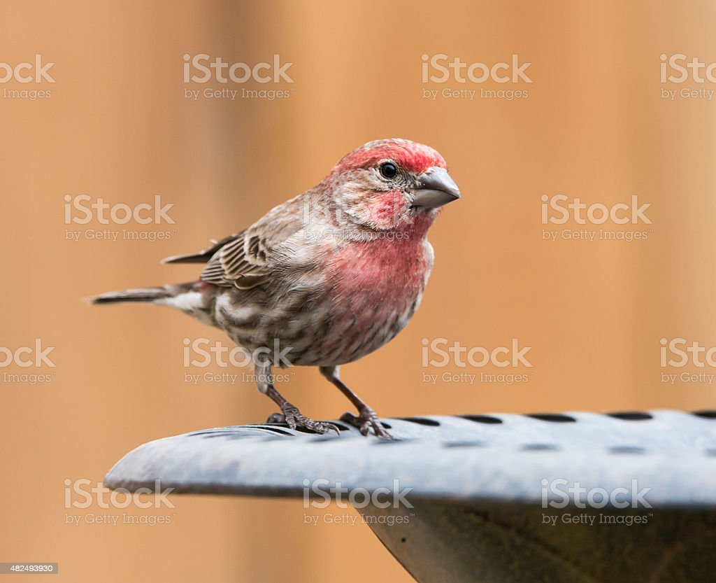 Male House Finch stock photo