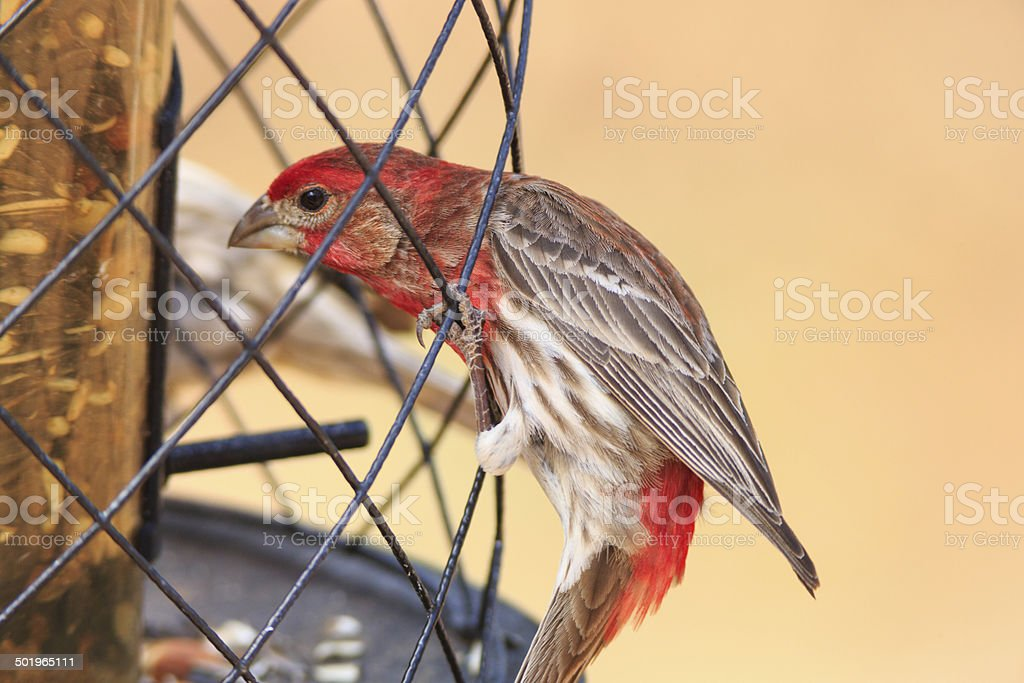 Male House Finch royalty-free stock photo