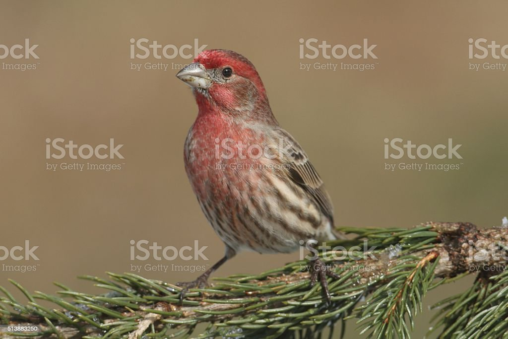 Male House Finch (Carpodacus mexicanus) stock photo