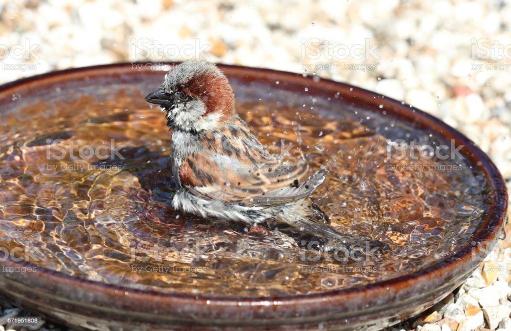A male House Sparrow bathing stock photo