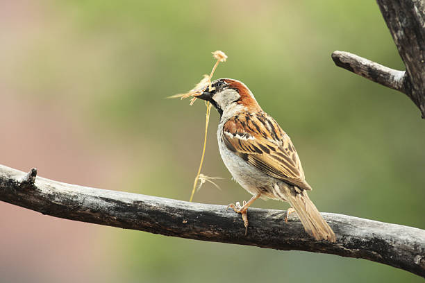 Male House Sparrow Passer domesticus stock photo