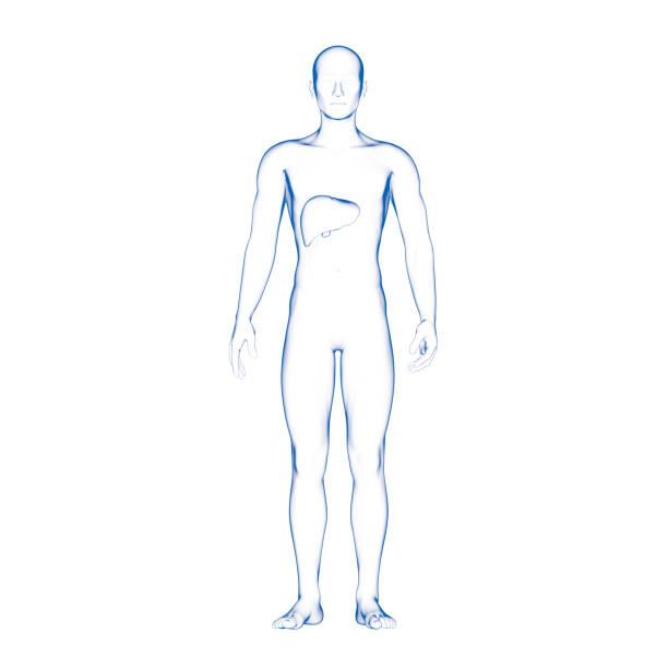 Male Human Liver stock photo