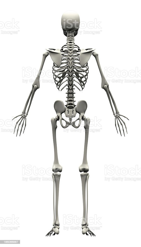 Male Human Skeleton Back View Stock Photo More Pictures Of Adult