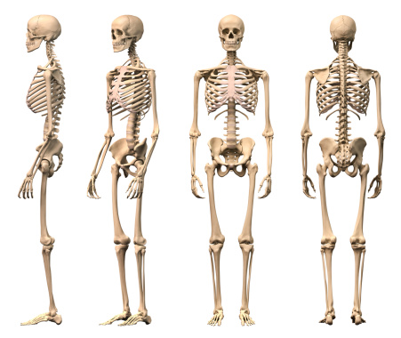 istock Male Human skeleton, four views, front, back,side and perspective. 135853422