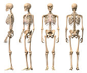 Male Human skeleton, four views, front, back,side and perspective.