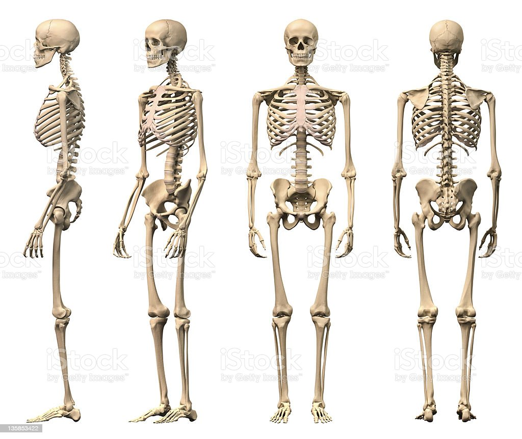 Male Human skeleton, four views, front, back,side and perspective. stock photo