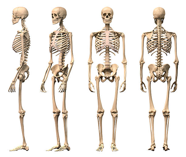 Royalty Free Human Skeleton Pictures, Images and Stock Photos - iStock