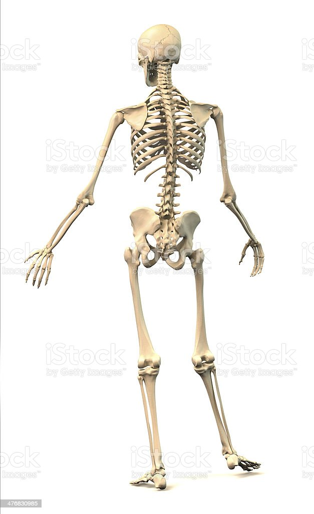 Male Human Skeleton In Dynamic Posture Rear View Stock Photo More