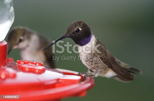 A male hummingbird at a feeder in Utah.