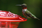 istock Male hummingbird portrait 1266161833