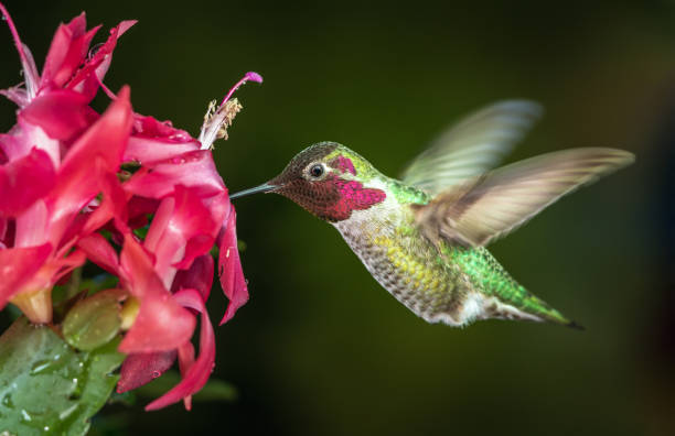 Male hummingbird visits pink flowers with dark green background stock photo