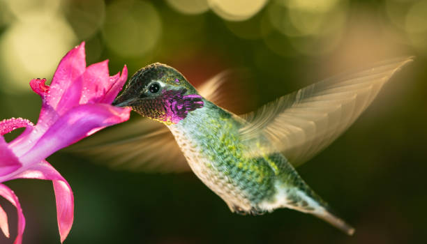 Male hummingbird with colorful feather stock photo