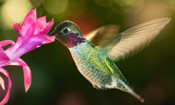 Male hummingbird with colorful feather visiting the pink flower stock photo