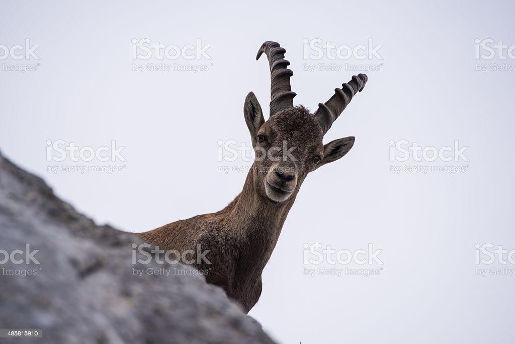 Male Ibex in Julian Alps stock photo