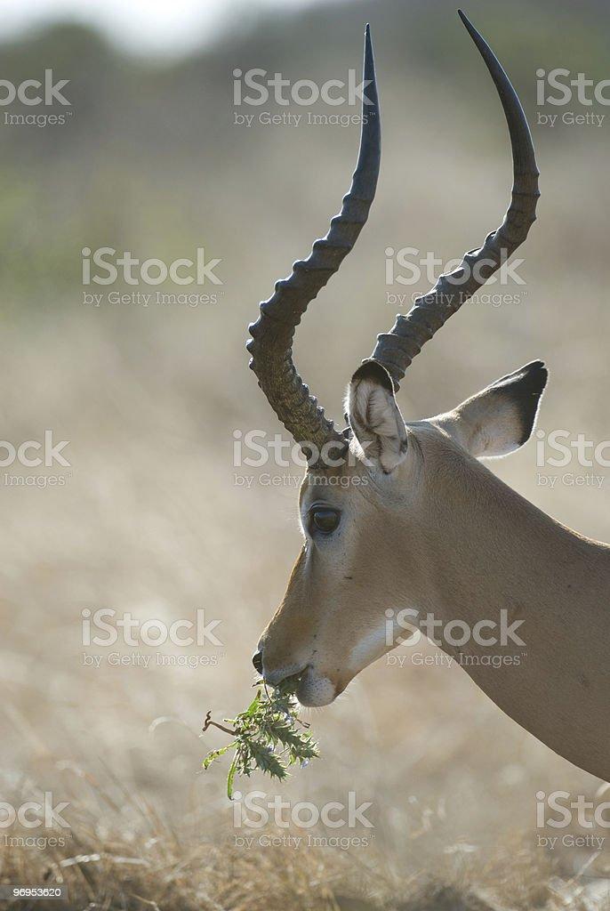 Male Impala (Aepyceros melampus) Eating, East Tsavo, Kenya royalty-free stock photo