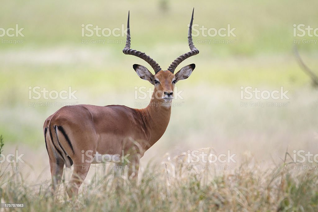 Male impala in the african savanna stock photo