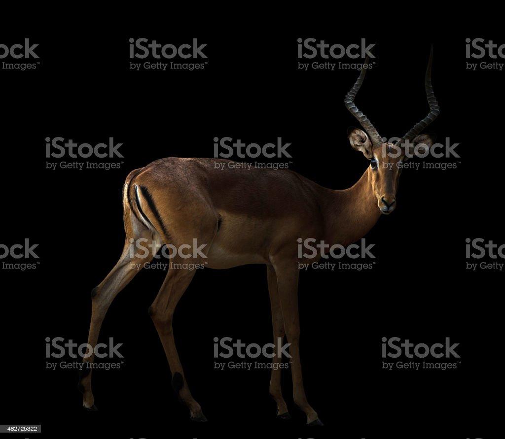 male impala in the dark stock photo