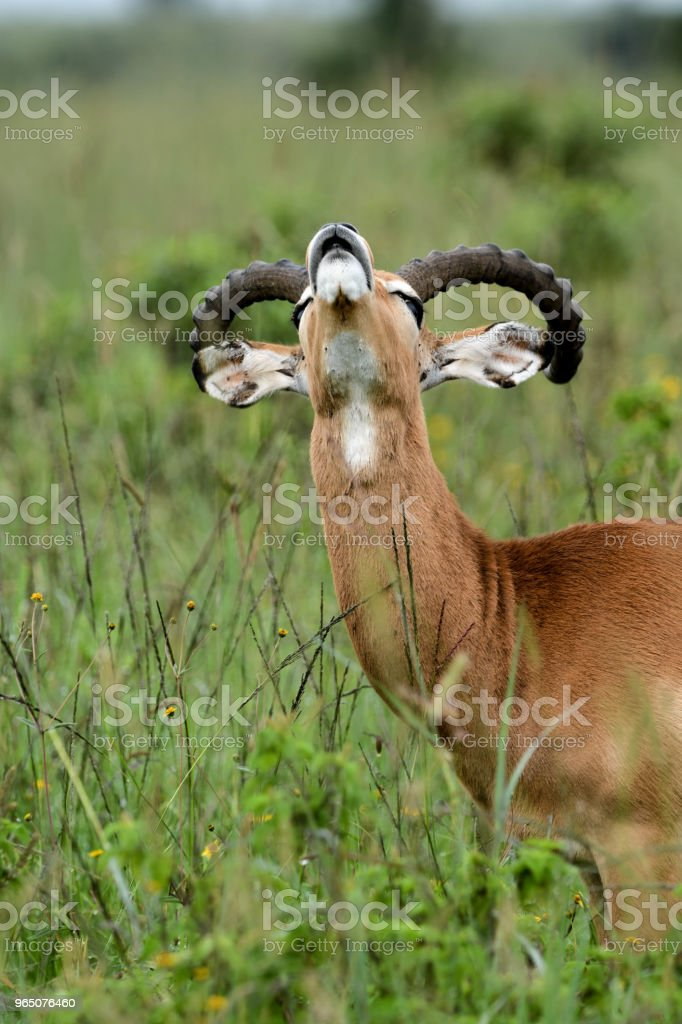 Male Impala royalty-free stock photo