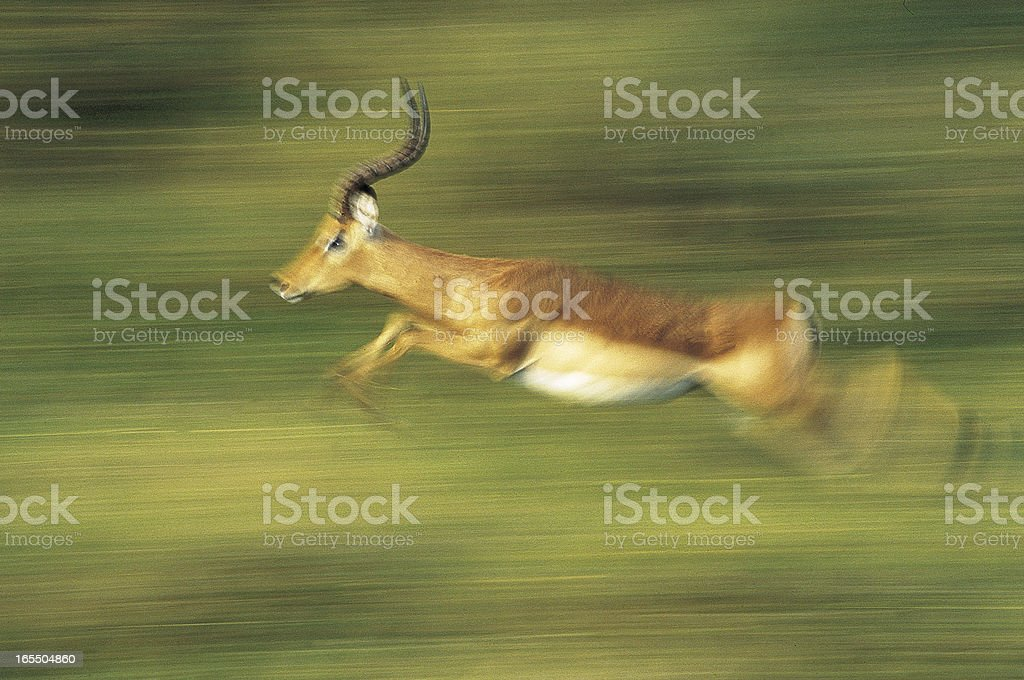 Male Impala running through green grass blurred stock photo
