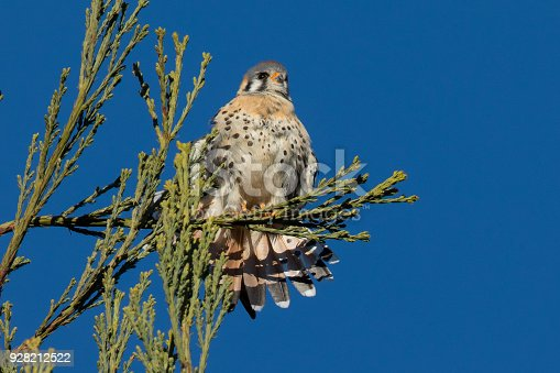 Male kestrel in the wild, perched on the tip of a branch and showing off his tail