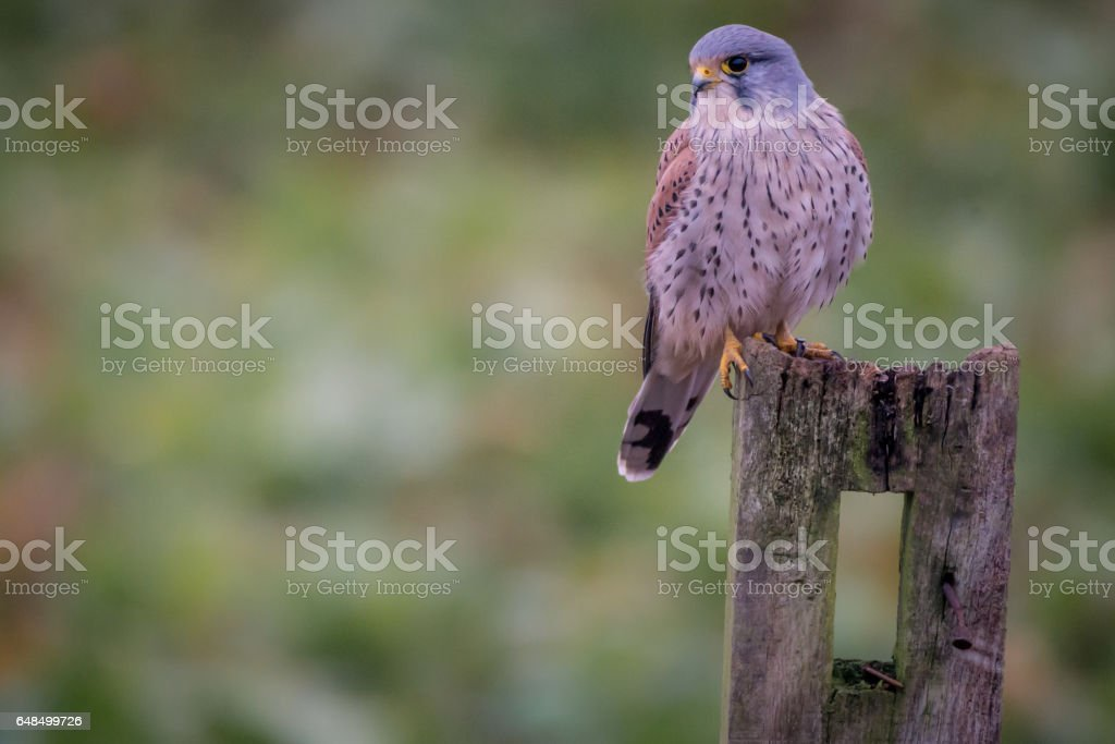 Male Kestrel stock photo