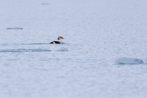 King eider (Somateria spectabilis) is a large sea duck that breeds along Northern Hemisphere Arctic coasts of northeast Europe, North America and Asia