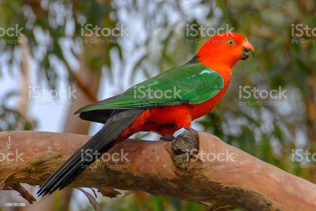 Male King Parrot, Alisterus scapularis, perched on tree branch, New South Wales, Australia stock photo