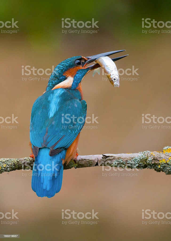 A male Kingfisher perching. Also known as an Alcedo atthis stock photo