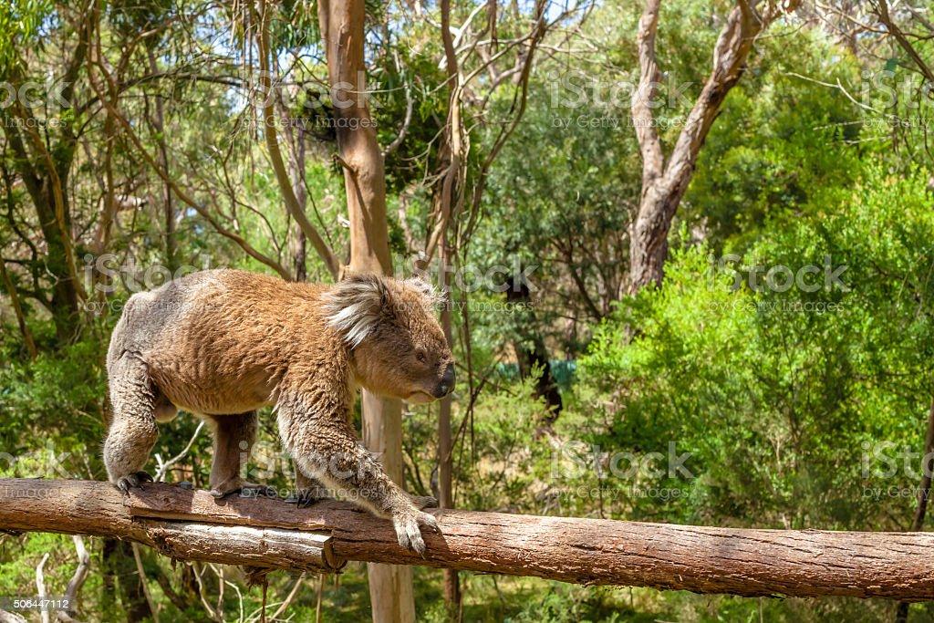 Male Koala Victoria Australia stock photo