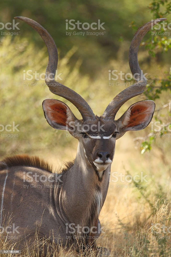Male Kudu Antelope Portrait stock photo