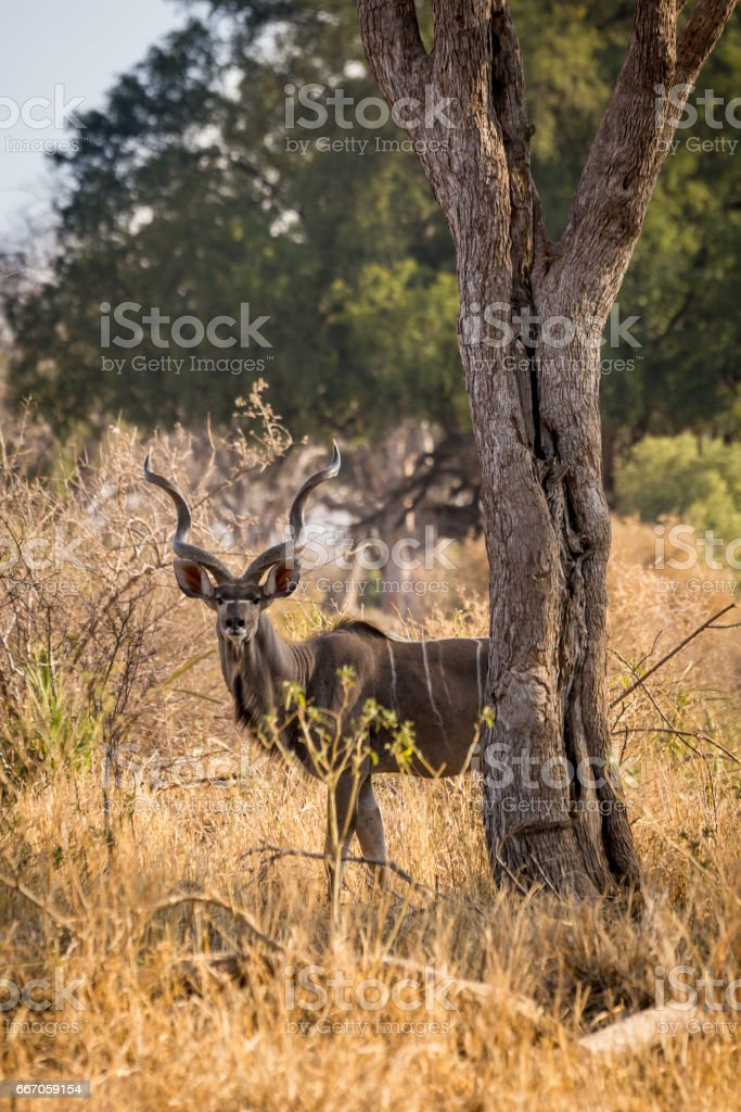 Male Kudu Hiding in Savannah of South Africa, Mapungubwe National Park stock photo