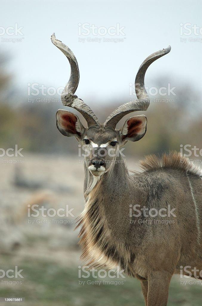 Male kudu portrait royalty-free stock photo