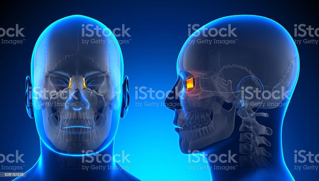 Fotografía de Hombre Anatomía Lagrimales Skull Conceptazul y más ...