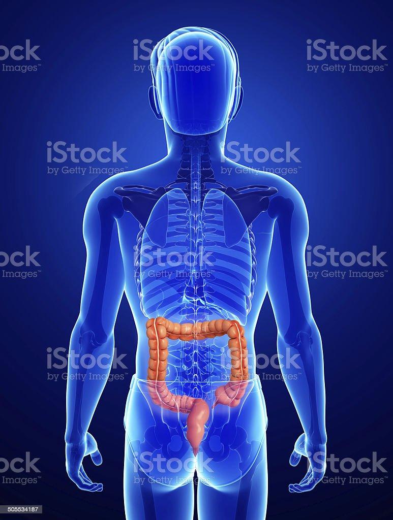 Male large intestine anatomy stock photo