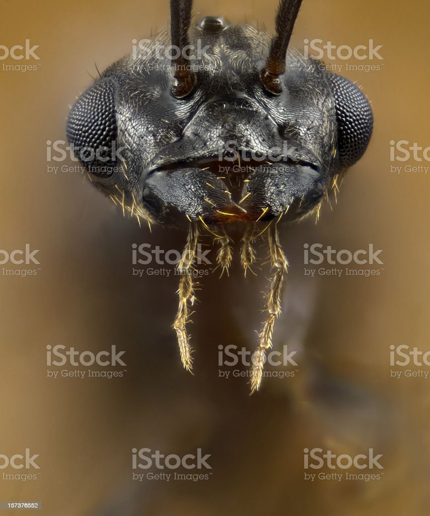 Male Lasius flying ant portrait royalty-free stock photo