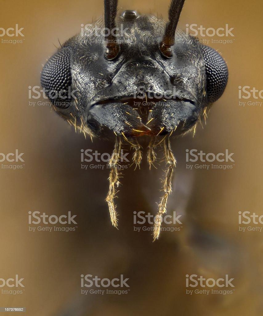 Male Lasius flying ant portrait stock photo
