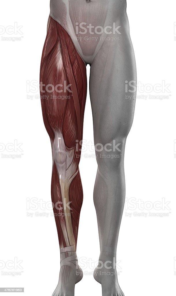 Pierna Los Músculos Hombre Anatomía Aislado - Fotografía de stock y ...