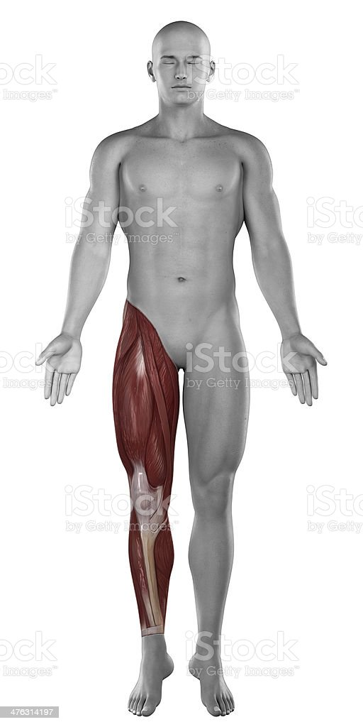 Male leg muscles anatomy isolated stock photo