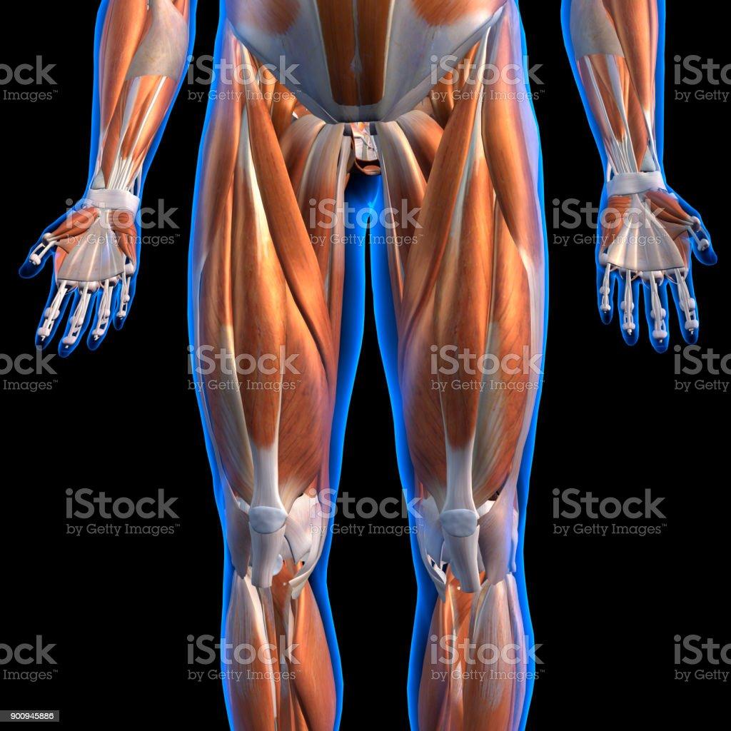 Fotografía de Vista Anterior De Hombre Pierna Músculos Marcado En ...
