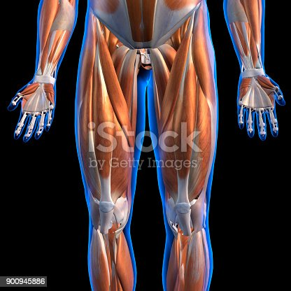 istock Male Leg Muscles Anterior View Labeled on Black 900945886