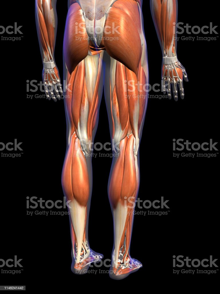 Male Leg Muscles On Black Background Stock Photo - Download ... Leg Muscles Diagram on arm diagram, sartorius diagram, leg muscles group, leg muscle chart, anterior compartment of leg, foot muscle diagram, leg cramps, inner ear diagram, achilles tendon, hip diagram, leg parts, leg tendons, leg muscle model, calf muscle diagram, cardiovascular system diagram, leg ligaments, leg workout, iliotibial tract, popliteal fossa, leg bones, upper thigh muscle diagram, calf muscle, leg muscles labeled, foot nerves diagram, leg nerves,