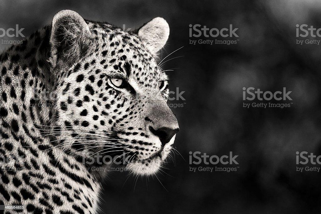 Male Leopard in Monochrome stock photo