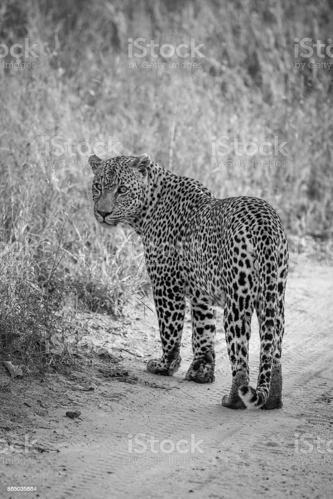 Male Leopard in the Kruger National Park stock photo