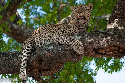 A male leopard relaxing in the shade provided by the leaves of the tree he had climbed into. Seen on a safari in South Africa