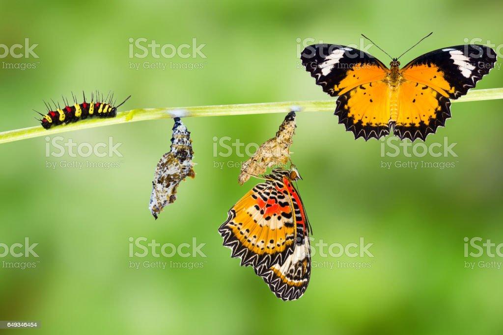 Male Leopard lacewing butterfly life cycle - fotografia de stock