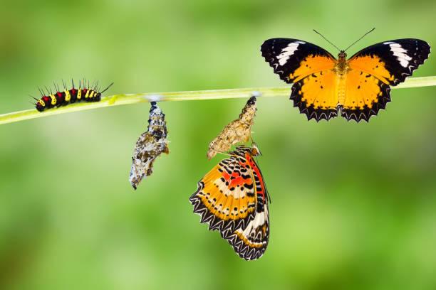 ciclo de vida de borboleta de cyane macho leopardo - lagarta - fotografias e filmes do acervo