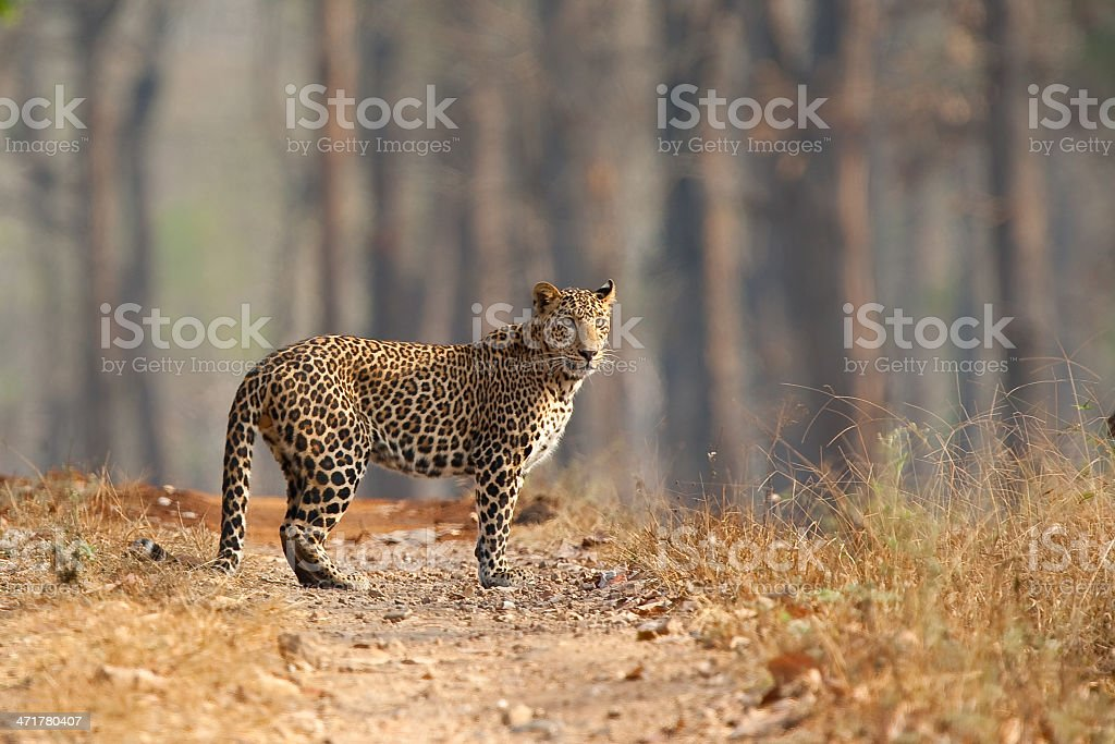 Male Leopard stood in open dry forest stock photo