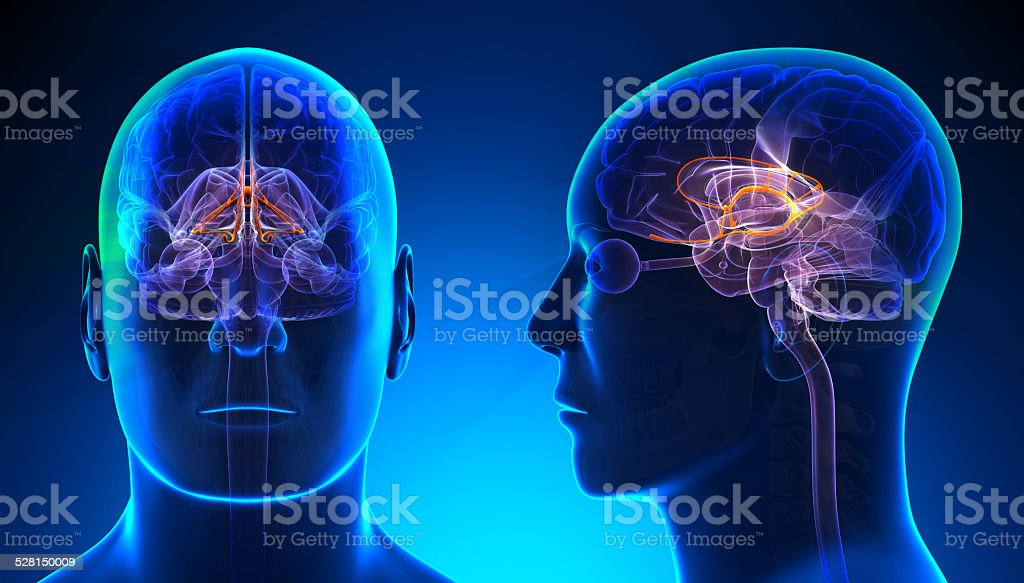 Male Limbic System Brain Anatomy - blue concept stock photo