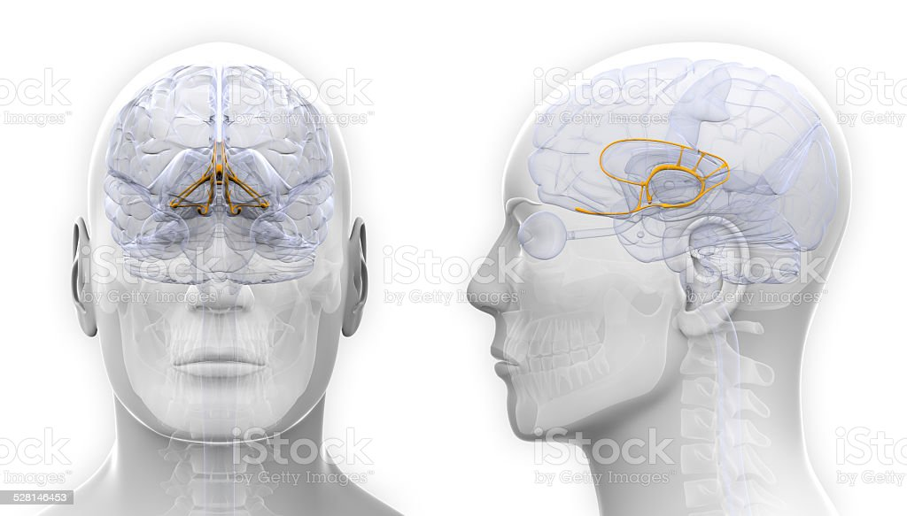 Male Limbic System Brain Anatomy - isolated on white stock photo