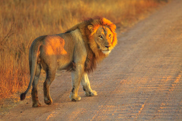 Male Lion Africa Adult male Lion standing on gravel road inside Kruger National Park, South Africa. Panthera Leo in nature habitat. The lion is part of the popular Big Five. Sunrise light. Side view. kruger national park stock pictures, royalty-free photos & images